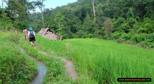 trekking through rice paddy on doi inthanon national park