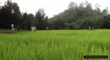 trekking through lush rice field
