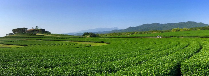 chiang rai tea plantation