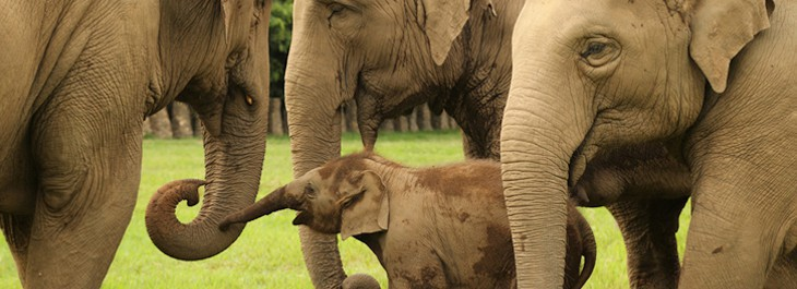 baby elephant playing with family