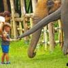 young boy feeding elephants bananas