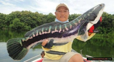 fisherman holding his catch - giant snakehead