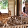collecting fresh eggs from chicken coops