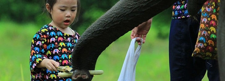 feeding elephant sugarcane close up