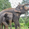 baby elephant walking with mum in forest