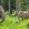 elephants roaming freely in forest