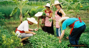 group of people picking thai herbs and vegetables in kitchen garden