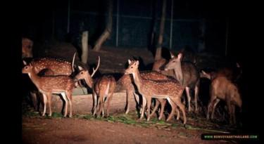 deer herd at chiang mai night safari