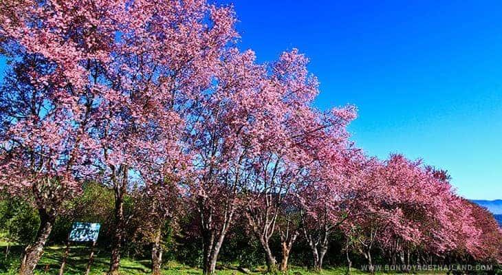 cherry blossoms at khun wang royal project