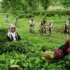 cycling through tea plantation at lisu lodge