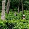 hilltribe women picking tea leaves