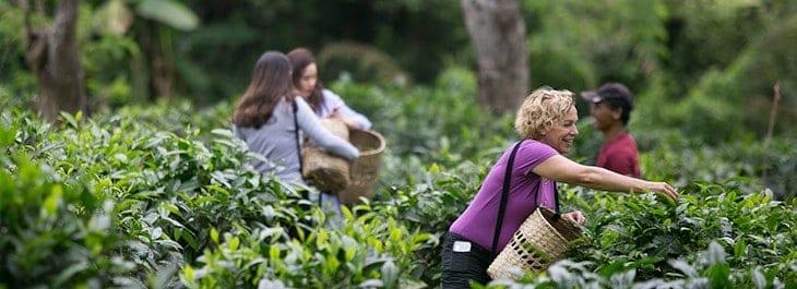 lady picking tea leaves at araksa tea garden