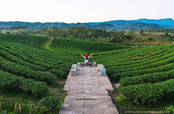 Choui Fong Tea Plantation View