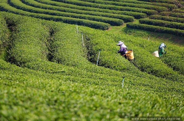Tea Worker at Choui Fong Tea Plantation