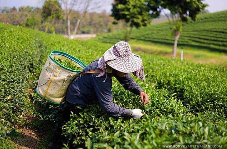 Travailleur du thé à la plantation de thé Choui Fong