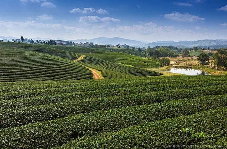 Vue de la plantation de thé Choui Fong
