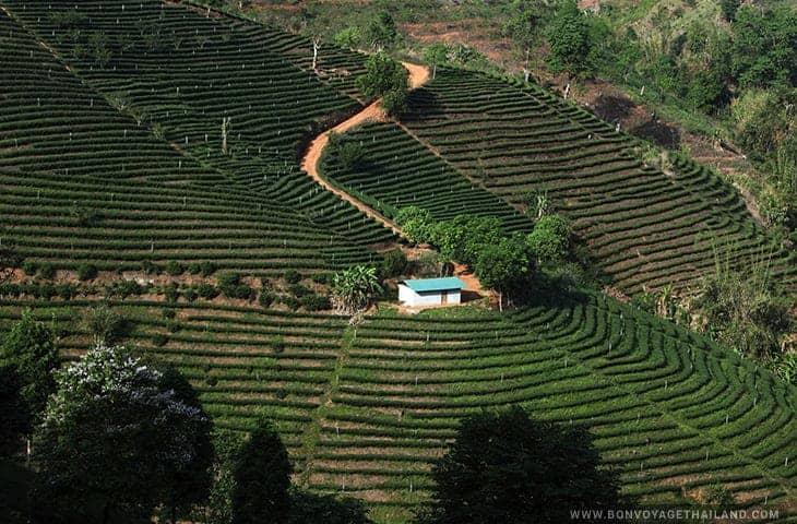 Maison au milieu de la plantation de thé