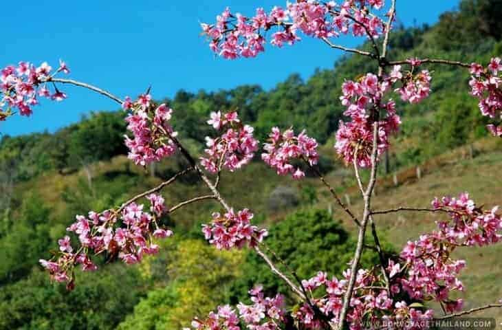 Cherry Blossom at Doi Mae Salong