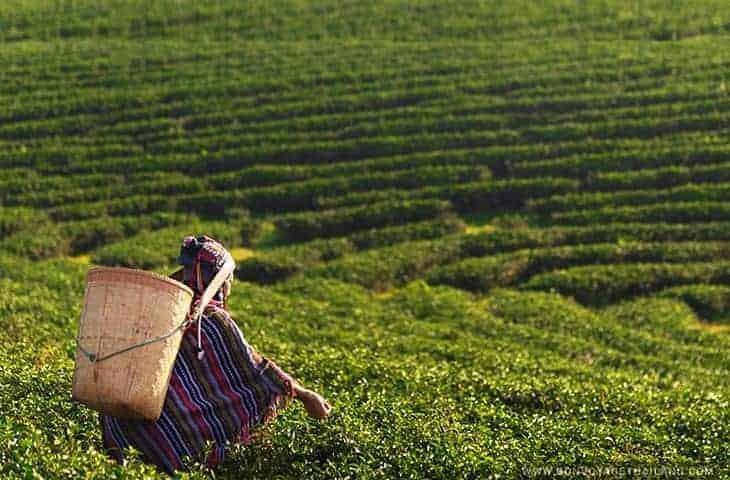Travailleur de la plantation de thé