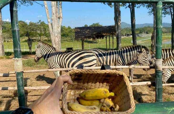 Singha Park Feed Zebras