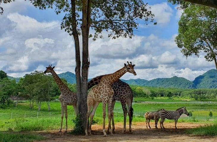 Singha Park Giraffes and Zerbras