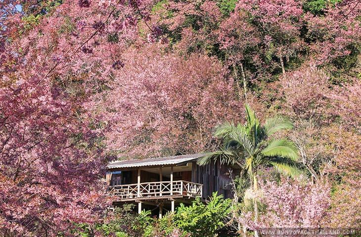 Baan Khun Chang Kian - Cherry Blossom
